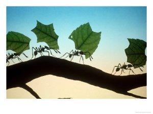 Leaf-Cutting-Ants